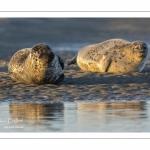 Phoque veau-marin en Baie d'Authie à Berck-sur-mer