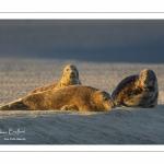 Phoque gris à Berck-sur-mer (Côte d'Opale, Baie d'Authie)