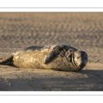 Phoque gris en baie d'Authie à Berck-sur-mer