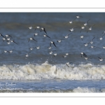 Bécasseau sanderling en vol (Calidris alba - Sanderling) le long de la plage de Quend-Plage