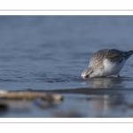 Bécasseau sanderling (Calidris alba - Sanderling) sur la plage de Quend-Plage