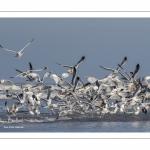 Envol de Goélands Argentés (Larus argentatus - European Herring Gull) sur la plage de Quend-Plage
