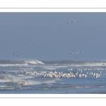 Goélands cendrés (Larus canus - Mew Gull) sur la plage de Quend-Plage