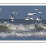 Goélands cendrés en vol  (Larus canus - Mew Gull) sur la plage de Quend-Plage