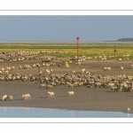 Les moutons de prés-salés viennent boire face à Saint-Valery