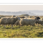 Les moutons d'estran dans la brume