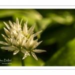 ail des ours (Allium ursinum)