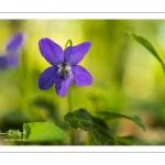 Violette des bois (Violette de Reichenbach, Viola reichenbachiana)
