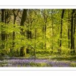 Jacinthe des bois ou Jacinthe sauvage (Hyacinthoides non-scripta) en forêt