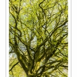 Hêtre centenaire en forêt de Crécy