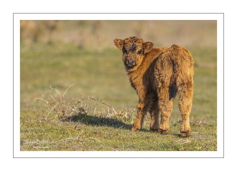 veau Highland Cattle