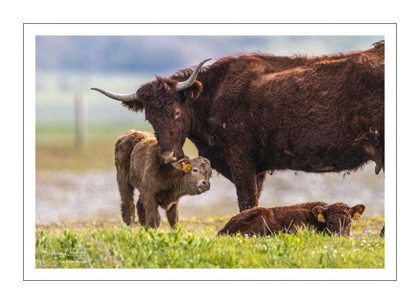 Vache Salers qui fait la toilette de son veau