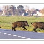 un groupe de sangliers (laies et marcassins) traverse la route