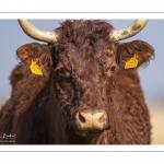 Vache de race Salers au Hâble d'Ault