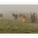 Anes en pâture dans la brume matinale