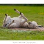 Petit âne femelle en train de se rouler dans la poussière par terre - Saison : Printemps - Lieu : Marcheville / Crécy-en-Ponthieu, Somme, Picardie, France