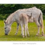 Petit âne femelle en train de têter sa mère - Saison : Printemps - Lieu : Marcheville / Crécy-en-Ponthieu, Somme, Picardie, France