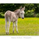 Petit âne femelle - Saison : Printemps - Lieu : Marcheville / Crécy-en-Ponthieu, Somme, Picardie, France