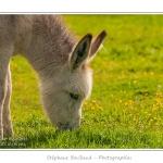 Jeune ânesse en pâture (ânon) en train de brouter l'herbeSaison : Printemps - Lieu : Marcheville / Crécy-en-Ponthieu, Somme, Picardie, France