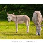 Jeune ânesse en pâture (ânon) avec sa mère -Saison : Printemps - Lieu : Marcheville / Crécy-en-Ponthieu, Somme, Picardie, France