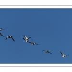 Passage de Tadornes de Belon (Tadorna tadorna, Common Shelduck) dans le ciel de la réserve naturelle de la baie de Somme