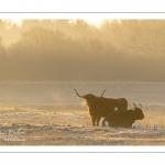 Vaches écossaises Highland Cattle dans une pâture gelée au petit matin en hiver