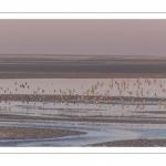 Vol de bécasseaux variables (Calidris alpina, Dunlin) dans la réserve naturelle de la Baie de Somme
