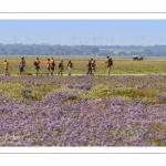 un groupe de scouts traversent les lilas de mer