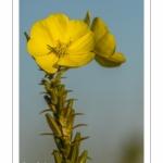 Onagre bisannuelle (Oenothera biennis L.)