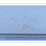 vol d'Huitriers-pies dans la réserve naturelle