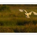Spatule blanche (Platalea leucorodia - Eurasian Spoonbill)