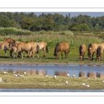 arrivée des Hensons au marais du Crotoy