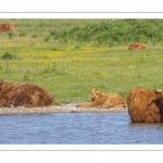 Les vaches Highland Cattle cherchent le frais