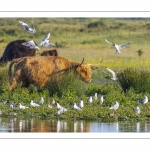 colonie de mouettes piétinée par une vache Highland Cattle