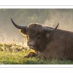 Vaches highland Cattle en pâture