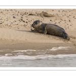 Jeune phoque  veau marin (Phoca vitulina)