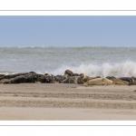 Colonie de phoques au Hourdel