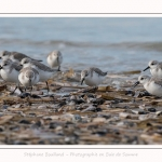 Becasseaux_Sanderling_11_03_2017_002-border