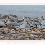 Becasseaux_Sanderling_11_03_2017_003-border