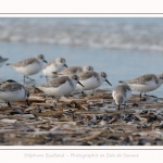 Becasseaux_Sanderling_11_03_2017_007-border