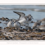 Becasseaux_Sanderling_11_03_2017_013-border