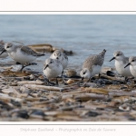 Becasseaux_Sanderling_11_03_2017_016-border