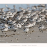 Becasseaux_Sanderling_11_03_2017_025-border