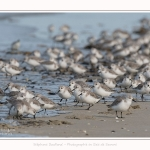 Becasseaux_Sanderling_11_03_2017_026-border