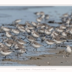 Becasseaux_Sanderling_11_03_2017_027-border