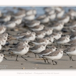 Becasseaux_Sanderling_11_03_2017_035-border