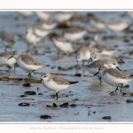 Becasseaux_Sanderling_11_03_2017_036-border