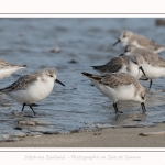 Becasseaux_Sanderling_11_03_2017_037-border