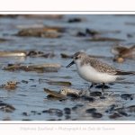Becasseaux_Sanderling_11_03_2017_040-border