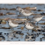 Becasseaux_Sanderling_11_03_2017_042-border